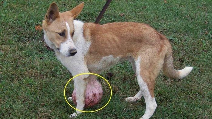 腫瘍ができた飼い犬を捨てる
