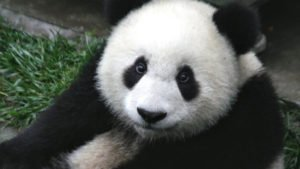 close-up-of-a-baby-seven-month-old-panda-cub-in-the-wolong-nature-reserve-in-sichuan-china