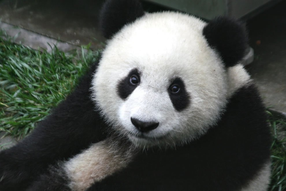 Close up of a baby seven month old panda cub in the Wolong Nature Reserve in Sichuan China.jpg?resize=1200,630 - World's Oldest Panda Jia Jia Has Passed Away In Peace