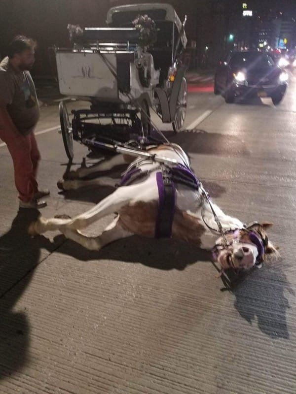 Horse collapsed on the ground