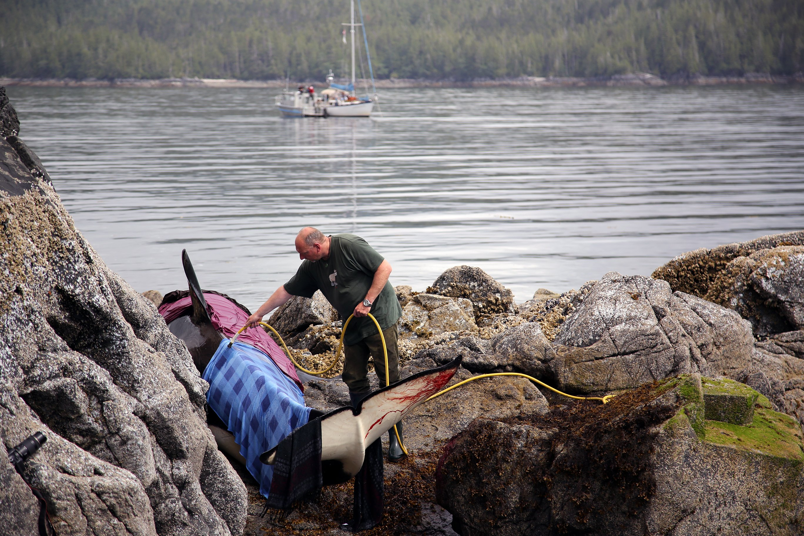 Orca whale being cared for by volunteers