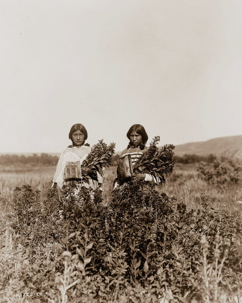 two-piegan-girls-gather-the-goldenrod-plant-in-1910