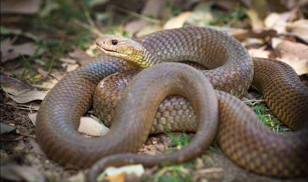 king-brown-snake-australia2