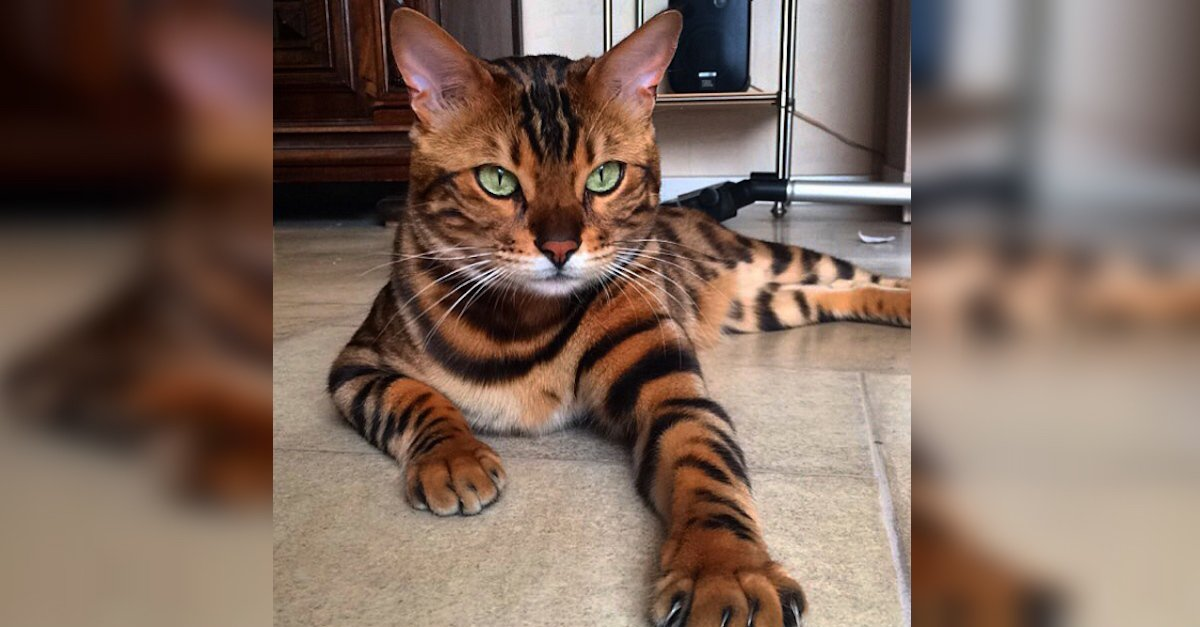 Thor A.jpeg?resize=1200,630 - Thor The Bengal Cat Looks Just Like A Tiger Cub