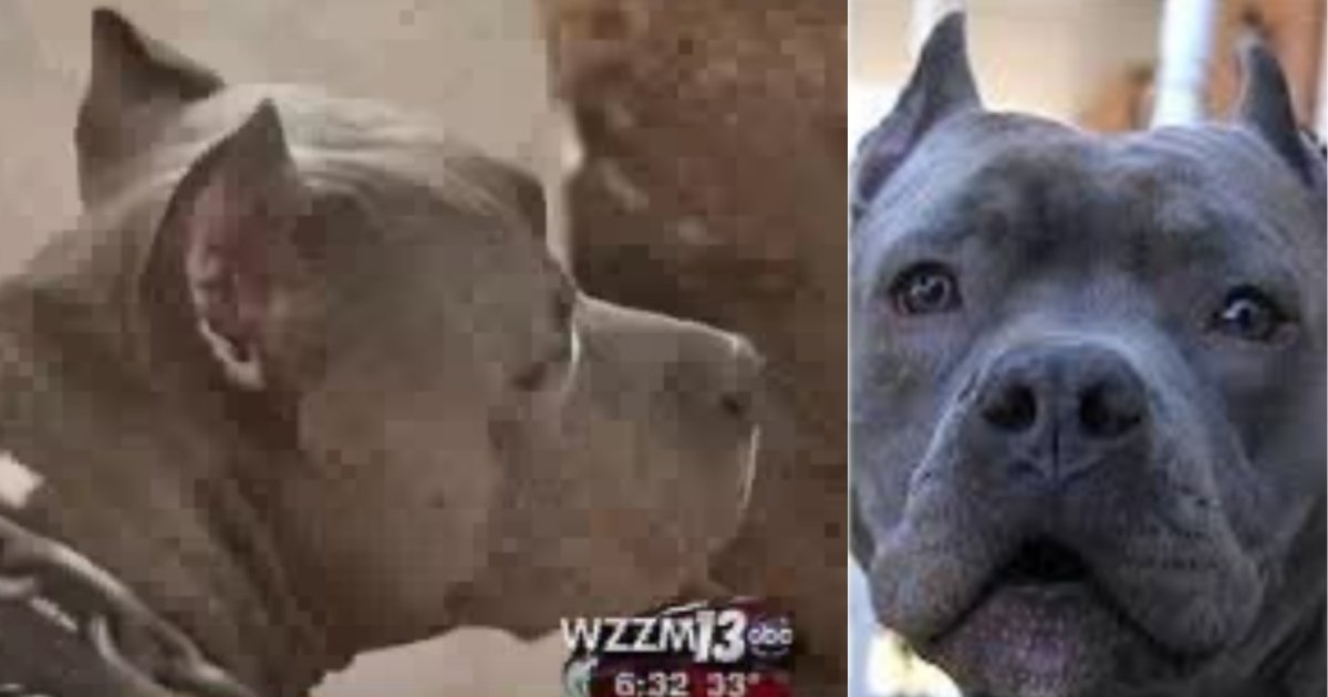 blitz saves woman.jpg?resize=1200,630 - Pit Bull Ran Out Of House To Save Neighbor Who Was Screaming For Help