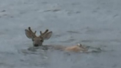 deer feature 412x232.png?resize=412,232 - Fishermen Rescue A Struggling Deer In The Ocean, Six Miles Offshore
