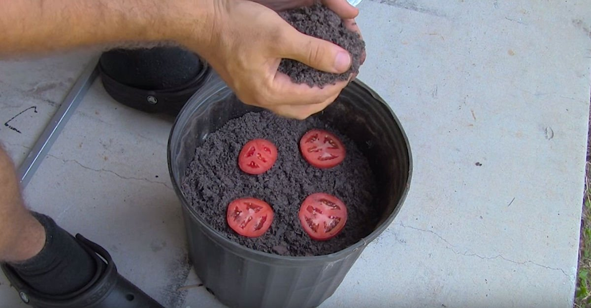 http cdn7.littlethings.comappuploads201603plant.jpg?resize=1200,630 - Man Placed Four Tomato Slices In A Bucket Of Dirt And Revealed How New Plants Grew After Two Weeks