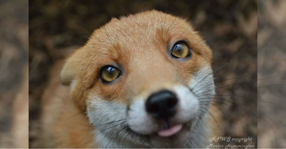 puddingthumba.jpg?resize=1200,630 - Tiny Fox Too Tame For The Wild Moved In With Her New Family