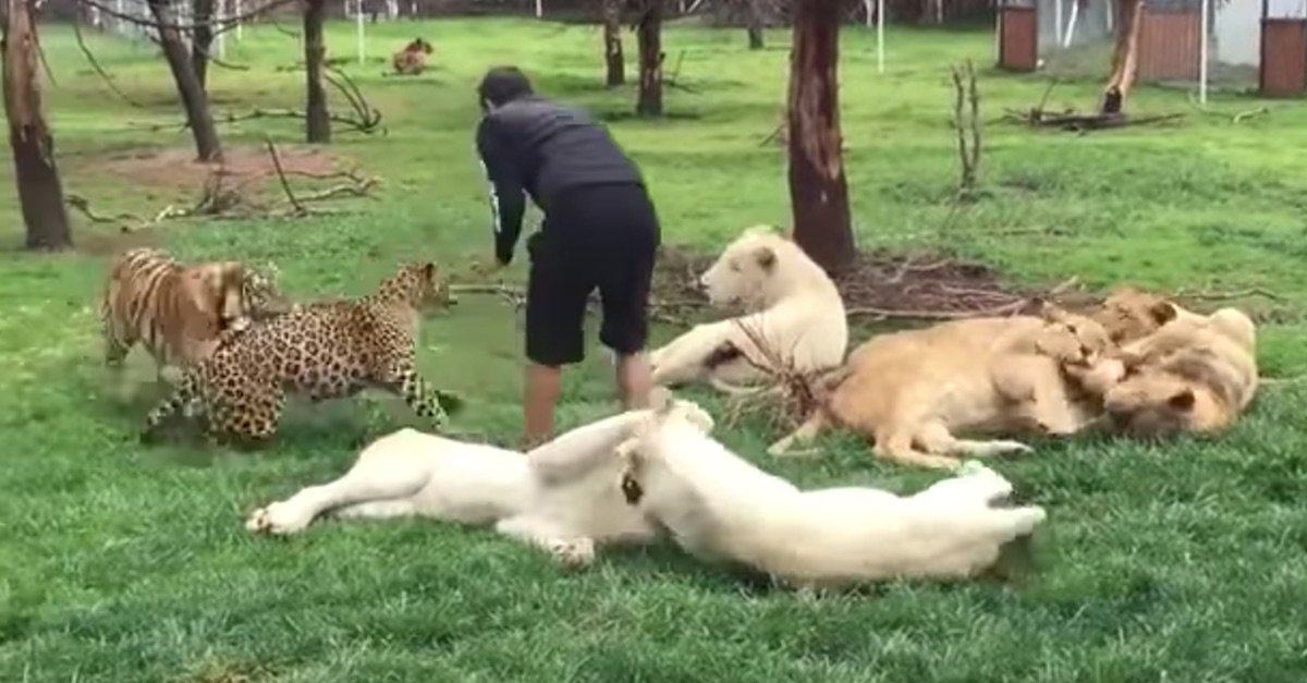 tiger 1 - Caretaker Playing With Tigers Is Oblivious To What's Behind Him… Watch What Happens Next
