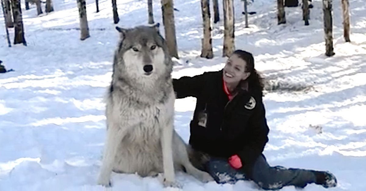 wolf2.jpg?resize=412,232 - Brave, Lucky Woman Is Best Friends With A Pack Of Giant Wolves