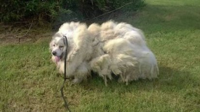 barn dog haircut 412x232.png?resize=412,232 - Neglected Dog Trapped In Barn Was Rescued And Had 35 Pounds Of Matted Fur Shaved Off