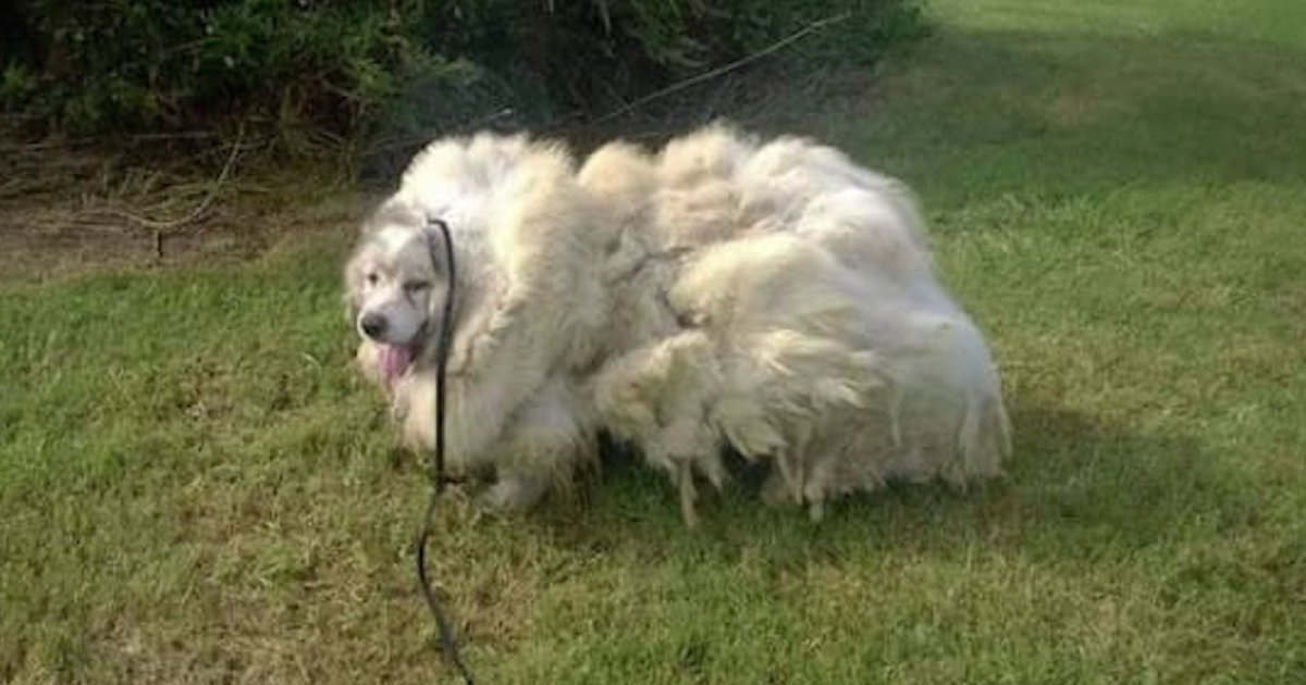 barn dog haircut.png?resize=1200,630 - Neglected Dog Trapped In Barn Was Rescued And Had 35 Pounds Of Matted Fur Shaved Off