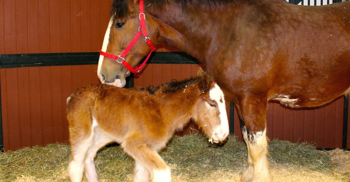 bud horse thumb 1.jpg?resize=412,232 - Baby Foal Was Born Into The Budweiser Clydesdales Family!