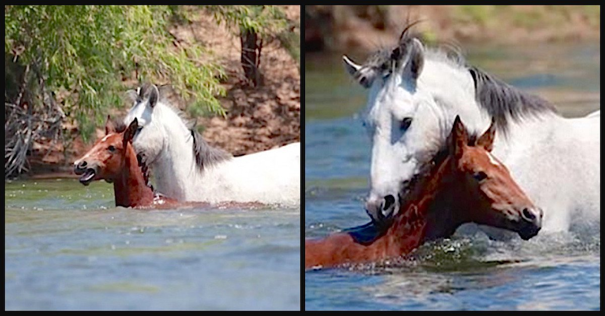 champ.jpg?resize=412,232 - Baby Horse Was Drowning, A Wild Stallion Came And Reached To Save Her