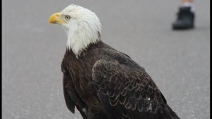 eagle road block 300x169.png?resize=300,169 - This Bald Eagle Got In The Way Of Traffic, But Not Because It Wanted To!