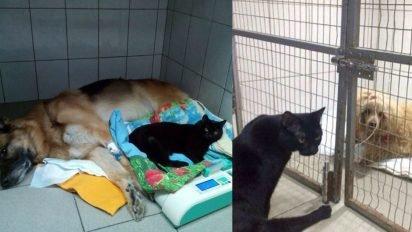 lucifer the paralyzed cat nurse 412x232.jpg?resize=412,232 - Despite Having Paralyzed Back Legs, This Cat Comforts Sick Animals At An Animal Hospital