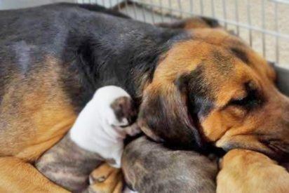 dogmom 412x275.jpg?resize=412,275 - Adopted Momma Dog Nursed 5 Tiny Rescue Pit Bulls