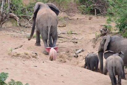 elephant 412x275.jpeg?resize=412,275 - Photographer Captured Rare Albino Elephant On Camera In Safari
