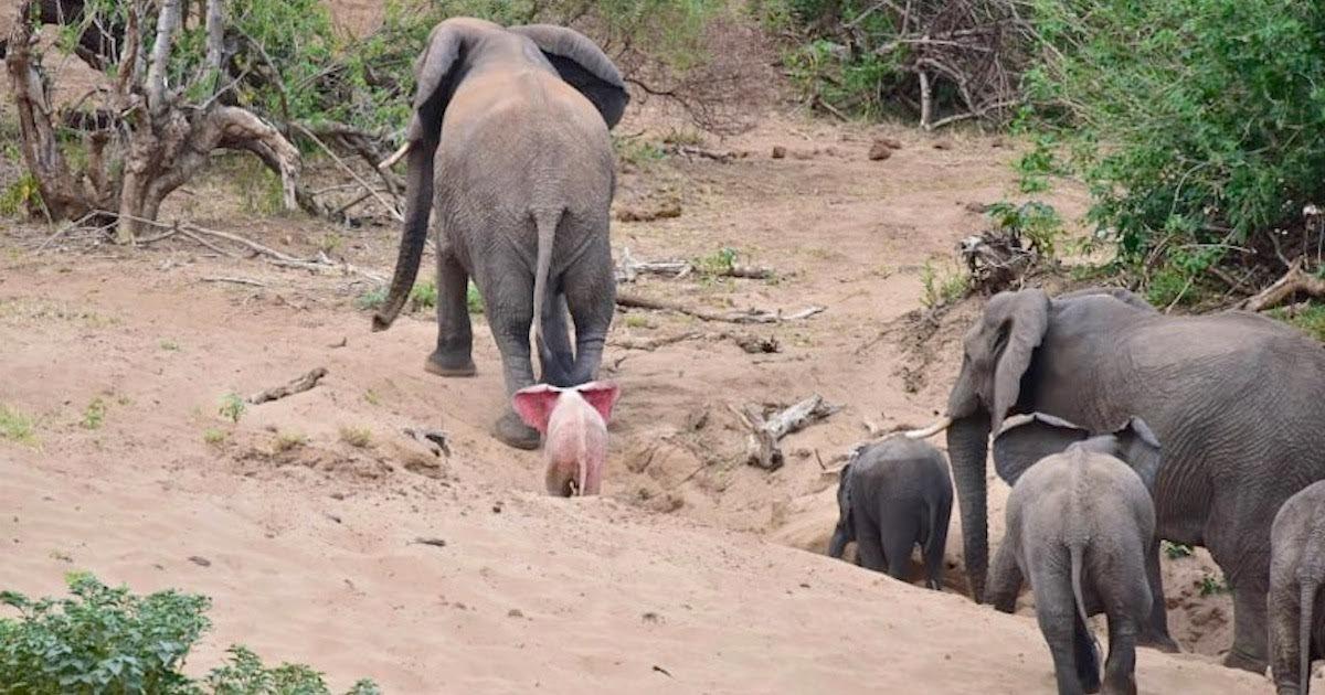 elephant.jpeg?resize=1200,630 - Photographer Captured Rare Albino Elephant On Camera In Safari