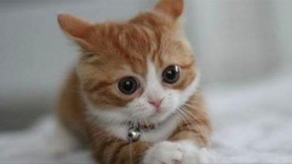 munchkin cats 412x232.jpg?resize=412,232 - Conheça o Munchkin, o gatinho que permanece bebê por toda a sua vida!