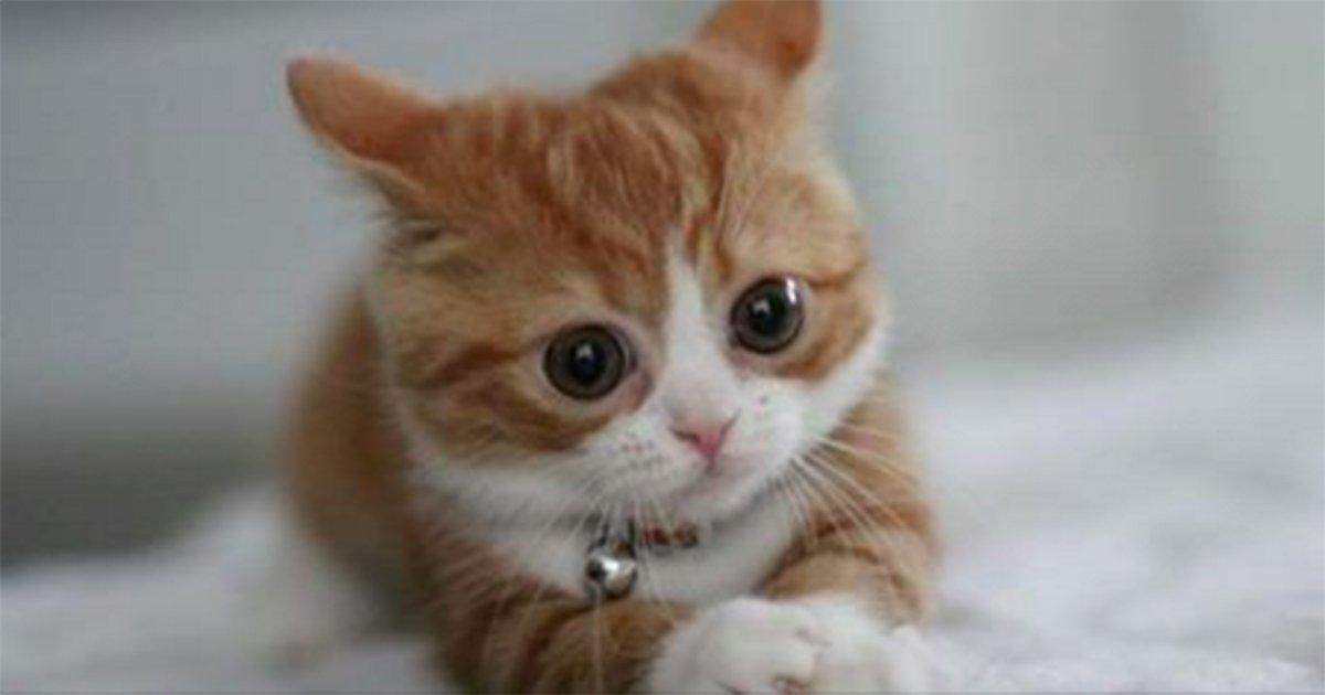 munchkin cats.jpg?resize=1200,630 - Conheça o Munchkin, o gatinho que permanece bebê por toda a sua vida!