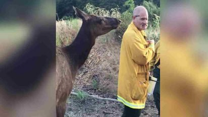 orphaned elk befriends firefighters 412x232.jpg?resize=412,232 - Lonely Elk Befriended Firefighters After They Put Out A Forest Fire