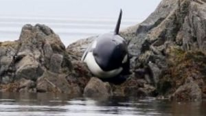 wh 300x169 - [VIDÉO] Une orque échouée est sauvée par des gens !