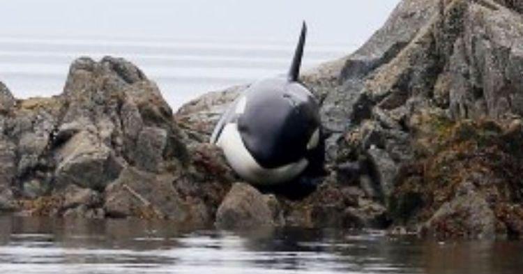 wh - [VIDÉO] Une orque échouée est sauvée par des gens !