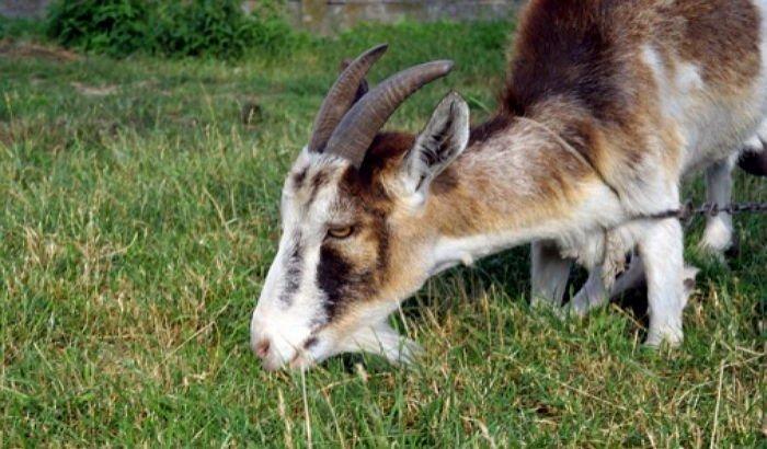 Old kneel goat