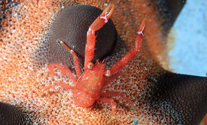 Hairy Squat Lobster on a Starfish