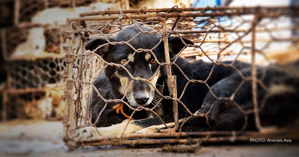 documentsfeaturesimages56960fbdlyulindogjpg   1200 630 0 0  90.jpg?resize=1200,630 - Chine: Le festival de la barbarie continue de massacrer des chiens et des chats