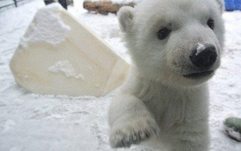 e18489e185b3e1848fe185b3e18485e185b5e186abe18489e185a3e186ba 2017 03 06 3 34 59 pm.png?resize=1200,630 - 動物園で生まれて初の'初雪'ベビーシロクマ