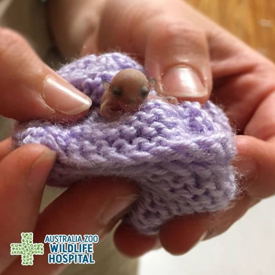 tiny baby feathertail glider falls on the ground and is fort
