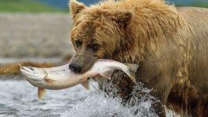 wil0418movie bers 300x169.jpg?resize=300,169 - États-Unis: un vote du Sénat rend de nouveau possible la chasse aérienne des ours et des loups en Alaska