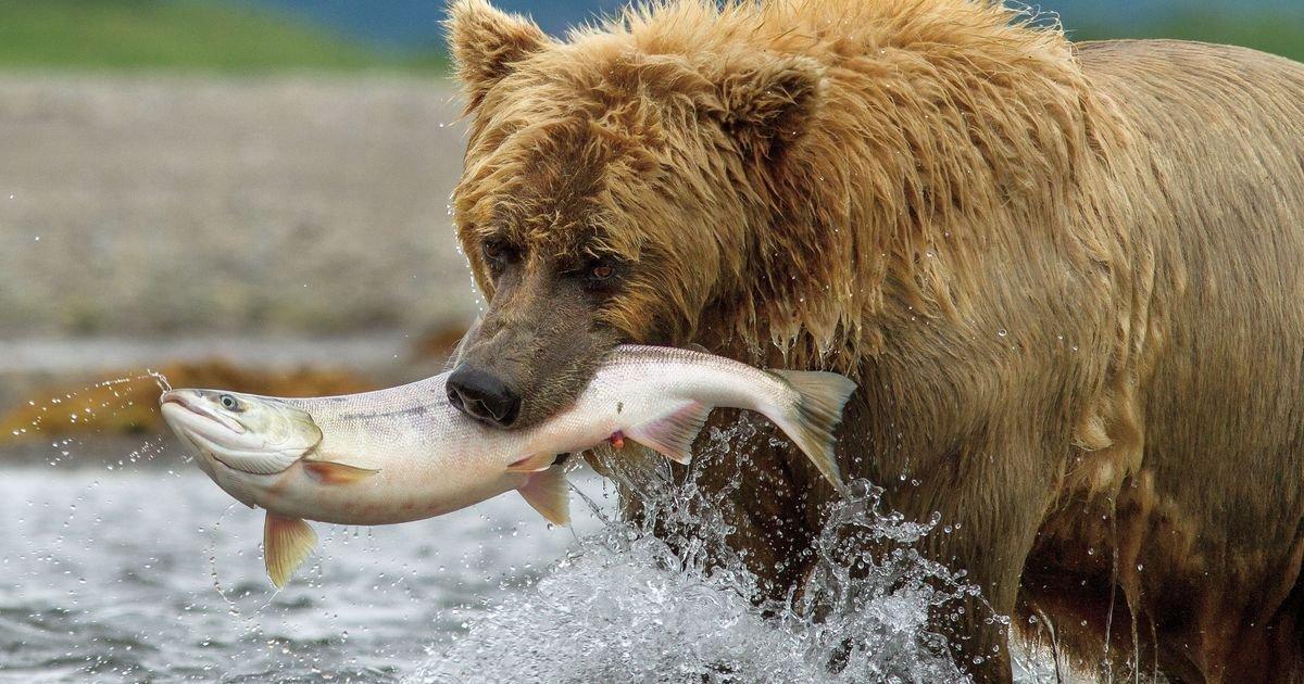 wil0418movie bers.jpg?resize=1200,630 - États-Unis: un vote du Sénat rend de nouveau possible la chasse aérienne des ours et des loups en Alaska