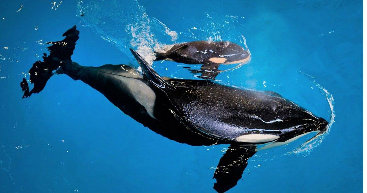 sans titre 1 1.png?resize=1200,630 - Le dernier bébé orque est né et il est adorable