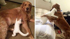 sans titre 12 2 300x169 - Ce chien élève un chaton comme son propre bébé