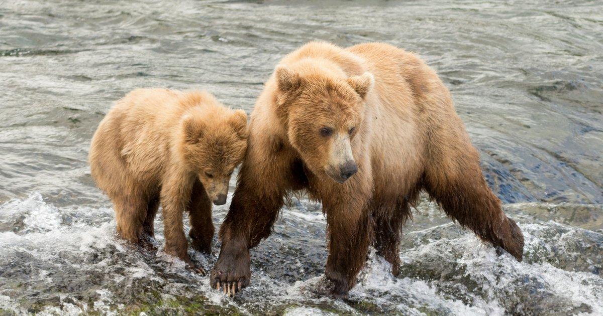 sans titre 3.png?resize=1200,630 - Ça y est: Trump vient d'autoriser le massacre des ours et des loups en Alaska