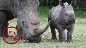 sans titre 300x169.png?resize=300,169 - Afrique du Sud: Le commerce des cornes de rhinocéros est de nouveau légal