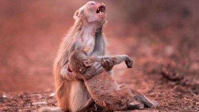 1 12 412x232.png?resize=412,232 - 意識を失った子猿を抱きしめ、絶叫する母猿の姿が悲しすぎる。