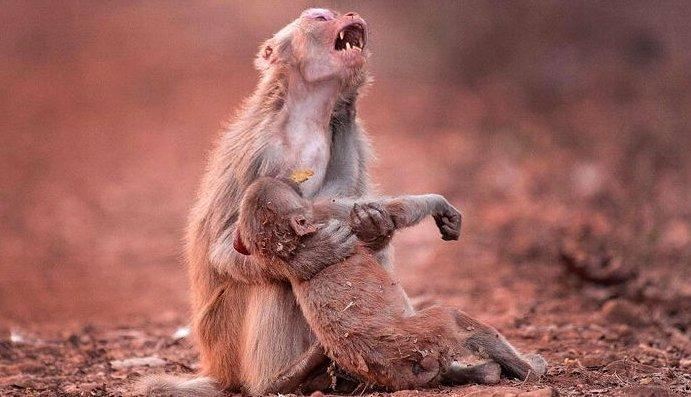 1 12.png?resize=1200,630 - 意識を失った子猿を抱きしめ、絶叫する母猿の姿が悲しすぎる。