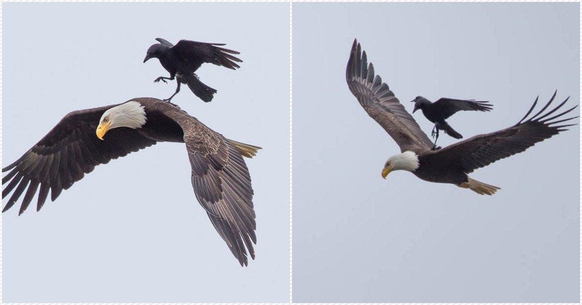 crowandeagle.jpg?resize=1200,630 - Photos incroyables : un corbeau se laisse porter par un aigle !