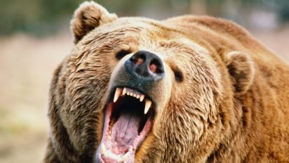 o grizzly facebook 412x232.jpg?resize=412,232 - Canada : des hôtels offrent des séjours luxueux aux chasseurs qui renoncent à leur permis de chasse !