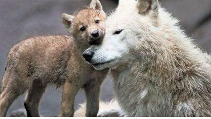 sans titre 4 412x232 - 36 loups sont officiellement tués chaque année en France