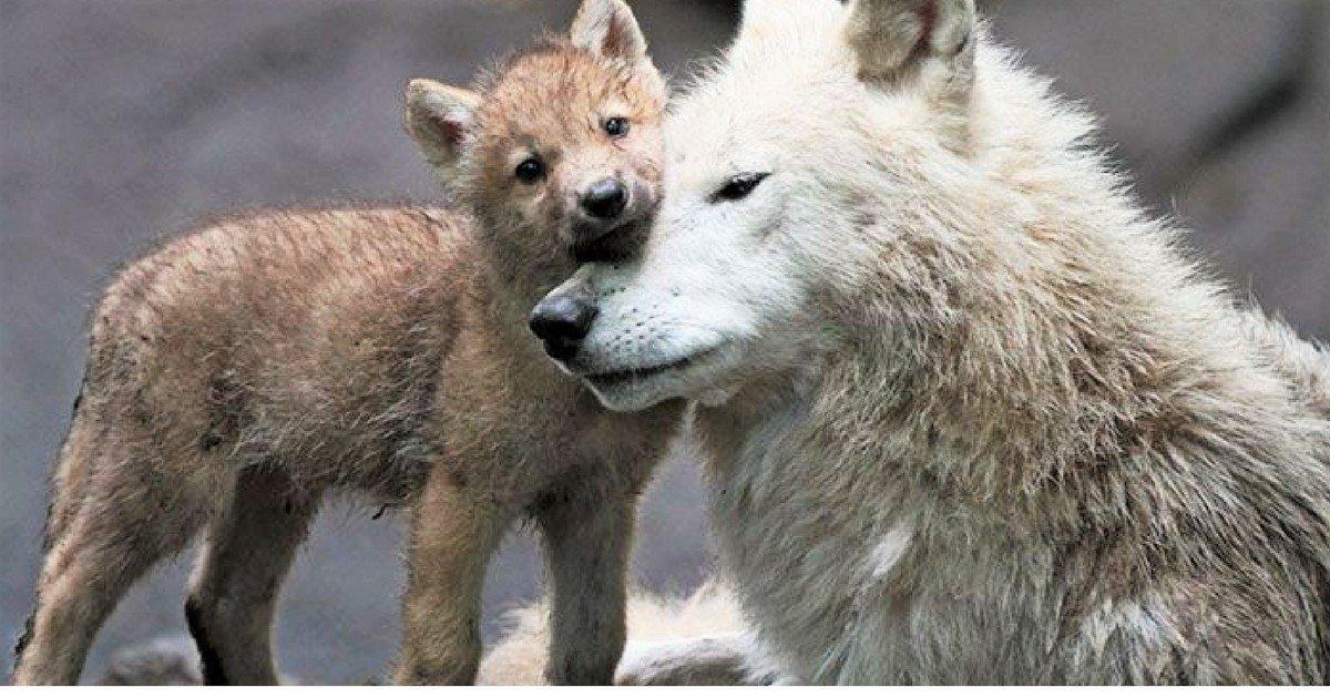 sans titre 4.jpg?resize=1200,630 - 36 loups sont officiellement tués chaque année en France