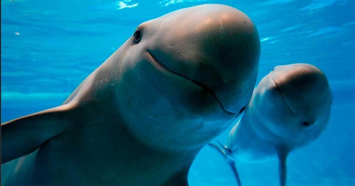 vaquita.jpg?resize=1200,630 - Le plus petit mammifère marin du marin va disparaître à cause de la pêche illégale: il en reste...26 dans le monde