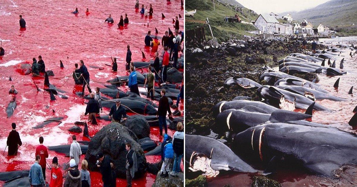 555 - 축제 위해 매년 고래 수백 마리 '학살'...'핏빛'으로 물든 바다