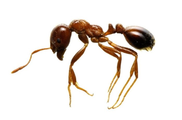 ant.jpg?resize=1200,630 - 中国から来た「猛毒性火蟻(ヒアリ)」が東京でも確認
