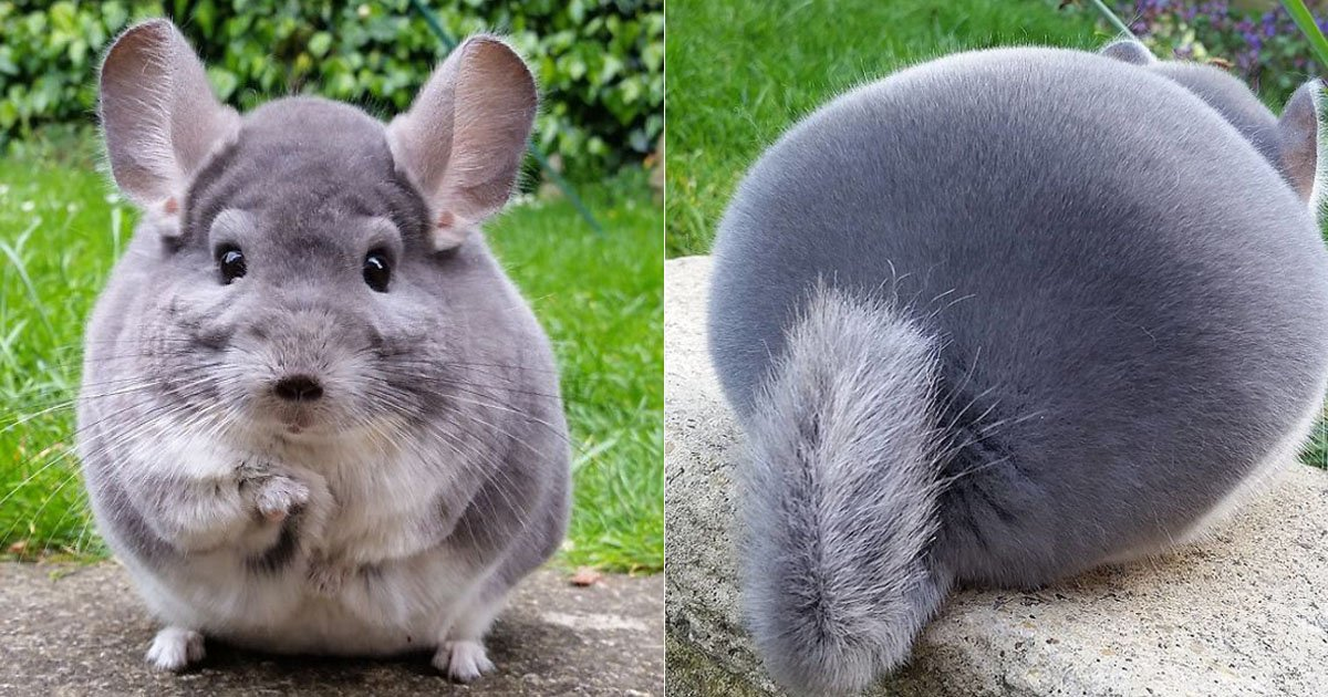 chinchillas_thumbnail
