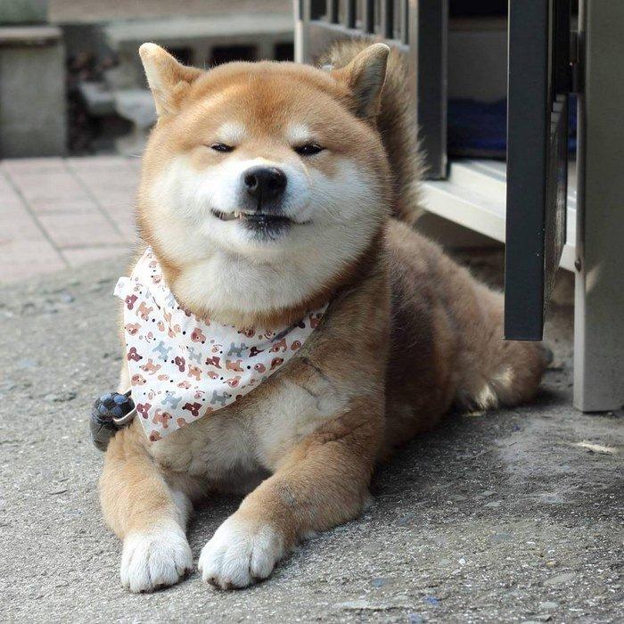 cute-dog-shiba-inu-ryuji-japan-11